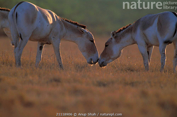 Indian wild asses interacting, male aggressive with ears back, Little Rann of  ,  INDIA,COMMUNICATION,BEHAVIOUR,MAMMALS,GREETING,ENDANGERED,INDIAN SUBCONTINENT,ASS,GUJARAT,PERISSODACTYLA,KUTCH,TWO,MALES,ASIATIC,Asia,Equines  ,  Anup Shah