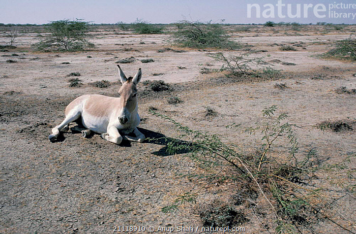 Indian wild ass at rest {Equus hemionus khur} Little Rann of Kutch, Gujarat India  ,  ENDANGERED,ASIATIC,DESERTS,GROUND,PERISSODACTYLA,SITTING,SOLITARY,INDIAN SUBCONTINENT,ASSES,MAMMALS,RESTING,SALTPAN,Asia,Equines  ,  Anup Shah