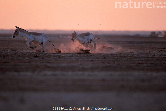Indian wild ass males fighting {Equus hemionus khur} Little Rann of Kutch Gujarat  ,  AGGRESSION,DESERTS,DUSK,INDIAN SUBCONTINENT,ACTION,MAMMALS,SALTPAN,ASSES,ENDANGERED,INDIA,ASIATIC,CONFLICT,PERISSODACTYLA,CHASING,MOVEMENT,Asia,Concepts,Equines  ,  Anup Shah