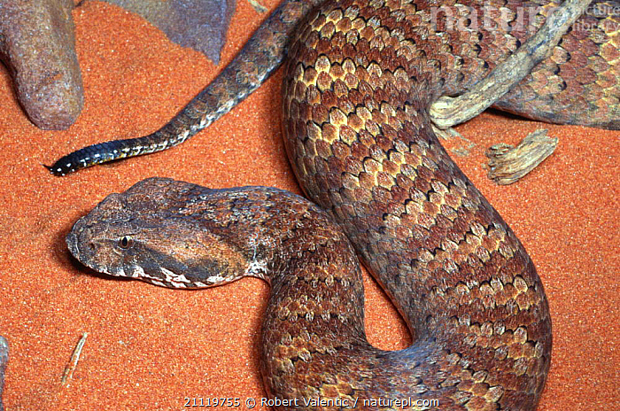 Death adder {Acanthophis antarcticus} male, South Australia  ,  ADDERS,SNAKES,MALES,POISONOUS,AUSTRALIA,SNAKE, Adders, REPTILES, Adders  ,  Robert Valentic