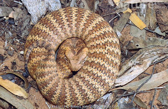 Southern death adder, male subadult in threat pose, {Acanthophis antarcticus}  ,  ADDERS,AUSTRALIA,AGGRESSION,AUSTRALIA,COILED,POISONOUS,MALES,SNAKE,Concepts,Snakes, Adders  ,  Robert Valentic
