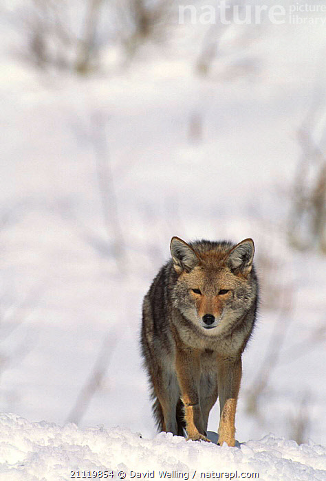 Wild Coyote walking in snow {Canis latrans} California, USA  ,  PORTRAITS,ONE,CANIDS,WINTER,DOGS,NORTH AMERICA,SOLITARY,VERTICAL,CARNIVORES,COLD,USA,MAMMALS  ,  David Welling