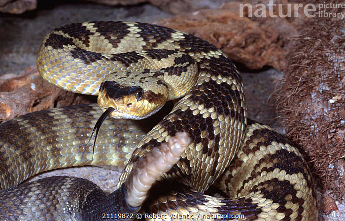 Black tailed rattlesnake {Crotalus molossus molossus} threat pose, captive  ,  RATTLESNAKES,POISONOUS,TONGUE,SNAKE,AGGRESSION,RATTLER,TAIL,REPTILES,Concepts,Snakes, Rattlesnakes  ,  Robert Valentic