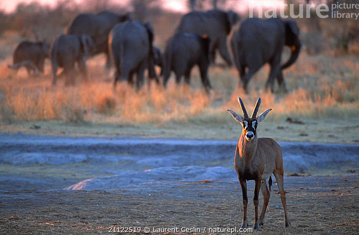 Roan antelope {Hippotragus equinus} with Elephant herd behind, Caprivi strip, Namibia  ,  MIXED SPECIES,ANTELOPES,GROUPS,SOUTHERN AFRICA,AFRICA,MAMMALS,ARTIODACTYLA  ,  Laurent Geslin