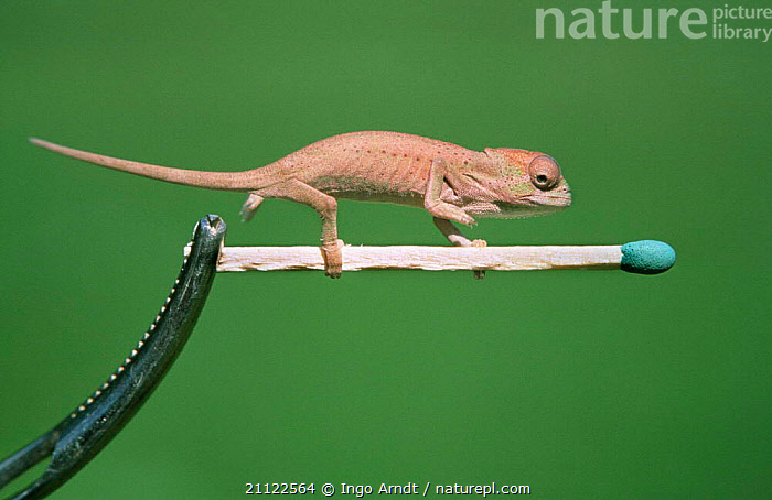 Peacock chameleon {Chamaeleo wiedersheimii} on matchstick  ,  COMPARISON,SIZE,WIEDERSHEIMII,DIMINUTIVE,MATCH,TINY,REPTILES,SMALL,CHAMELEONS,DWARF,SCALE,REFERENCE,Lizards, Chameleons  ,  Ingo Arndt