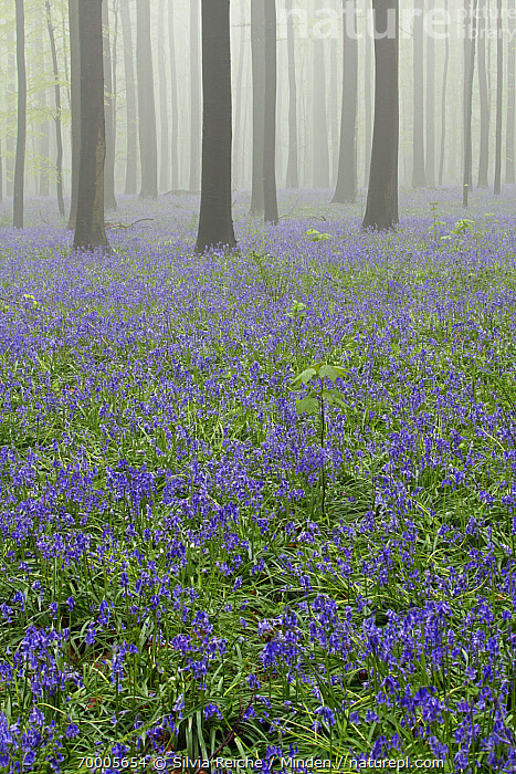 English Bluebell (Hyacinthoides nonscripta) flowering in foggy forest, Brussels, Belgium  ,  Belgium, Blooming, Brussels, Color Image, Day, English Bluebell, Flowering, Fog, Forest, Hyacinthoides nonscripta, Interior, Landscape, Mist, Nobody, Outdoors, Photography, Purple, Tree Trunk, Understory, Vertical,English Bluebell,Belgium  ,  Silvia Reiche