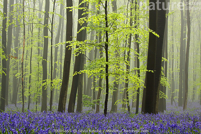 English Bluebell (Hyacinthoides nonscripta) flowering in forest, Halle, Brussels, Belgium  ,  Belgium, Blooming, Brussels, Color Image, Day, English Bluebell, Flower, Forest, Habitat, Horizontal, Hyacinthoides nonscripta, Interior, Nobody, Outdoors, Photography, Tranquility, Tree Trunk,English Bluebell,Belgium  ,  Silvia Reiche
