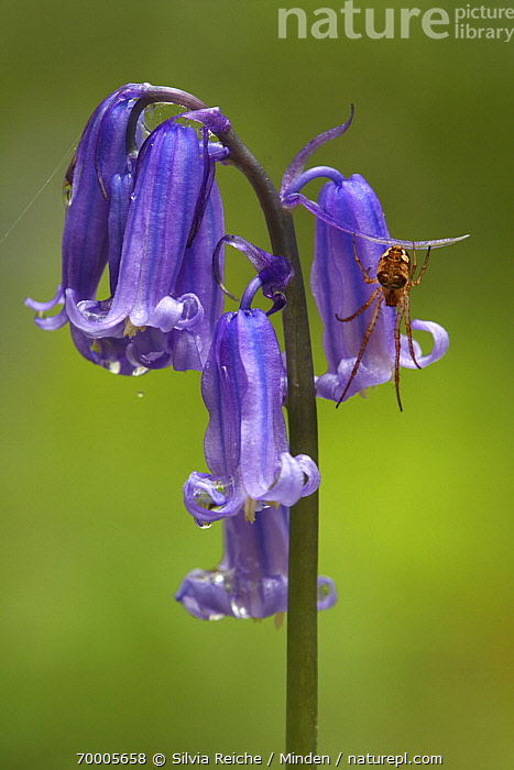 English Bluebell (Hyacinthoides nonscripta) flowers with hanging spider, Brussels, Belgium  ,  Adult, Belgium, Brussels, Color Image, Day, English Bluebell, Flower, Full Length, Hanging, Hyacinthoides nonscripta, Nobody, One Animal, Outdoors, Photography, Purple, Top View, Vertical, Wildlife,English Bluebell,Belgium  ,  Silvia Reiche