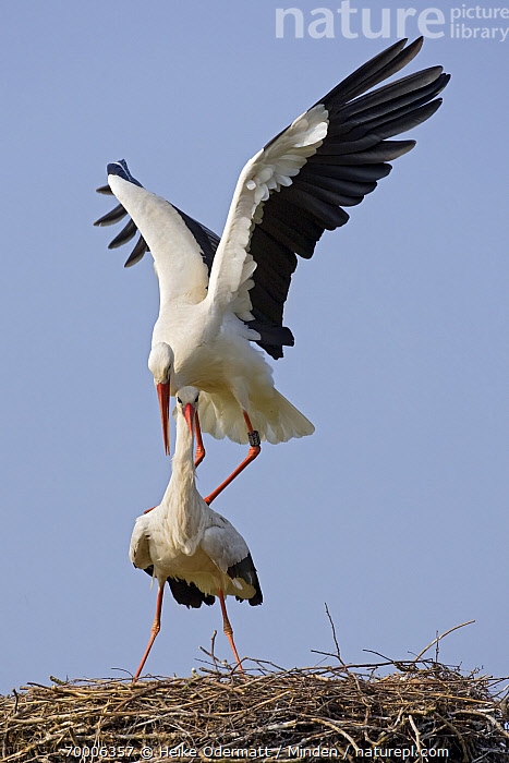 White Stork (Ciconia ciconia) pair courting on the nest, Switzerland  ,  Adult, Banded, Ciconia ciconia, Color Image, Courting, Day, Female, Front View, Full Length, Mating, Mother, Nest, Nobody, Outdoors, Pair, Parent, Photography, Switzerland, Two Animals, Vertical, Wading Bird, White Stork, Wildlife,White Stork,Switzerland  ,  Heike Odermatt