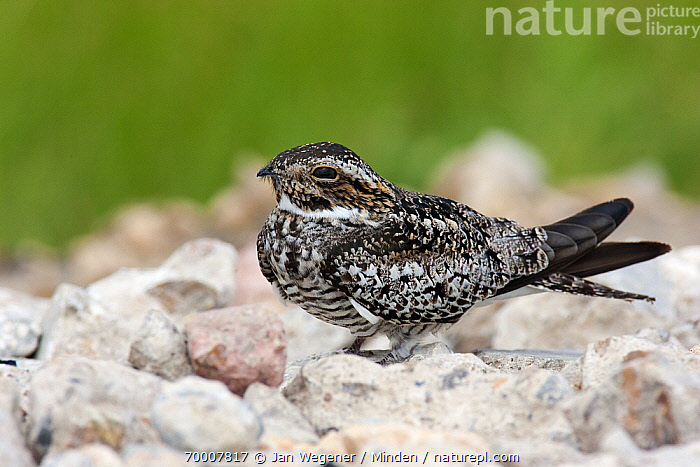 Common Nighthawk (Chordeiles minor) amidst stones, Winnie, Texas  ,  Adult, Chordeiles minor, Color Image, Common Nighthawk, Day, Full Length, Horizontal, Nobody, One Animal, Outdoors, Photography, Side View, Texas, Wildlife, Winnie,Common Nighthawk,Texas  ,  Jan Wegener