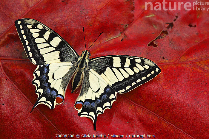 Oldworld Swallowtail (Papilio machaon) butterfly on red autumn leaf, Hoogeloon, Noord-Brabant, Netherlands  ,  Adult, Autumn Color, Butterfly, Color Image, Day, Full Length, Hoogeloon, Horizontal, Leaf, Netherlands, Nobody, Noord-Brabant, Oldworld Swallowtail, One Animal, Outdoors, Papilio machaon, Photography, Top View, Wildlife,Oldworld Swallowtail,Netherlands  ,  Silvia Reiche
