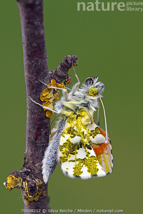 Orange Tip (Anthocharis cardamines) butterfly just after emerging from chrysalis, Hoogeloon, Noord-Brabant, Netherlands  ,  Adult, Anthocharis cardamines, Beginning, Butterfly, Chrysalis, Color Image, Day, Emerging, Full Length, Hoogeloon, Male, Metamorphosis, Netherlands, Nobody, Noord-Brabant, One Animal, Orange Tip, Outdoors, Photography, Side View, Vertical, Wildlife,Orange Tip,Netherlands  ,  Silvia Reiche