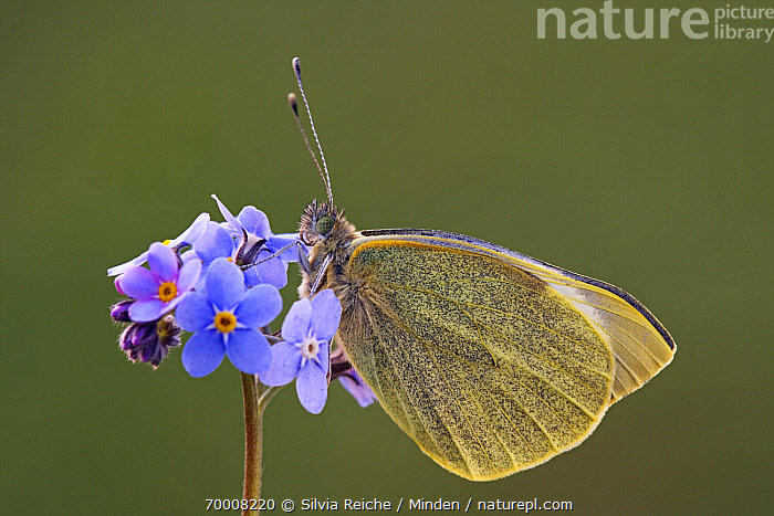 Cabbage Butterfly (Pieris brassicae) on Forget-me-not (Myosotis sp), Hoogeloon, Noord-Brabant, Netherlands  ,  Adult, Butterfly, Cabbage Butterfly, Color Image, Day, Flower, Forget-me-not, Full Length, Hoogeloon, Horizontal, Myosotis sp, Netherlands, Nobody, Noord-Brabant, One Animal, Outdoors, Perched, Photography, Pieris brassicae, Side View, Wildlife,Cabbage Butterfly,Forget-me-not,Myosotis sp,Netherlands  ,  Silvia Reiche
