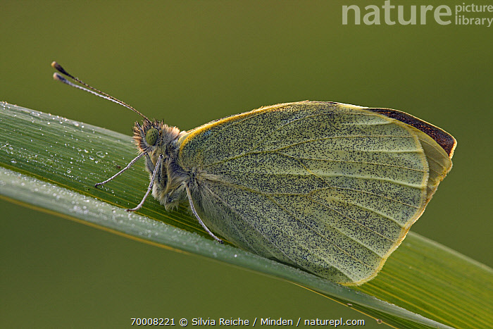 Cabbage Butterfly (Pieris brassicae) on leaf, Hoogeloon, Noord-Brabant, Netherlands  ,  Adult, Butterfly, Cabbage Butterfly, Color Image, Day, Full Length, Hoogeloon, Horizontal, Netherlands, Nobody, Noord-Brabant, One Animal, Outdoors, Photography, Pieris brassicae, Side View, Wildlife,Cabbage Butterfly,Netherlands  ,  Silvia Reiche