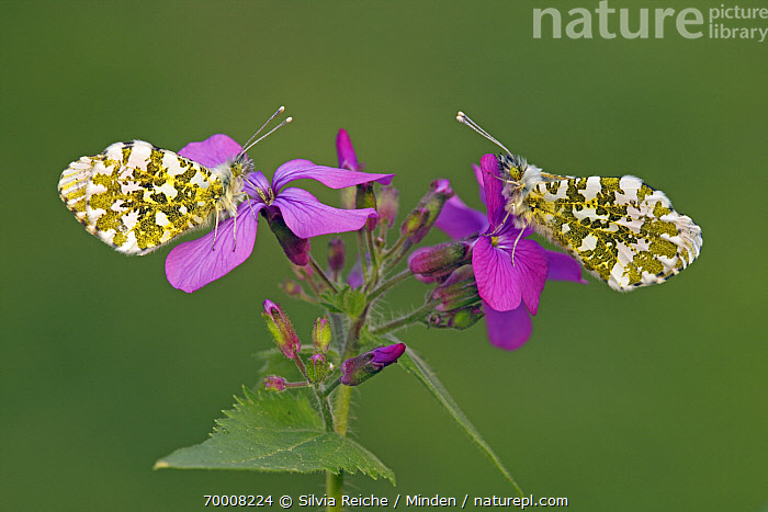 Orange Tip (Anthocharis cardamines) butterfly females on Annual Honesty (Lunaria annua) flowers, Hoogeloon, Noord-Brabant, Netherlands  ,  Adult, Annual Honesty, Anthocharis cardamines, Butterfly, Color Image, Day, Female, Flower, Full Length, Hoogeloon, Horizontal, Lunaria annua, Netherlands, Nobody, Noord-Brabant, Orange Tip, Outdoors, Perched, Photography, Side View, Two Animals, Wildlife,Orange Tip,Annual Honesty,Lunaria annua,Netherlands  ,  Silvia Reiche