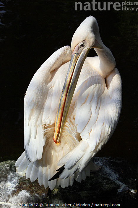 Great White Pelican (Pelecanus onocrotalus) preening, Europe  ,  Adult, Color Image, Day, Europe, Full Length, Great White Pelican, Nobody, One Animal, Outdoors, Pelecanus onocrotalus, Photography, Preening, Seabird, Top View, Vertical, Wildlife,Great White Pelican,Europe  ,  Duncan Usher