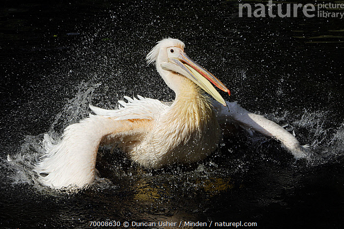 Great White Pelican (Pelecanus onocrotalus) bathing, Europe  ,  Adult, Bathing, Color Image, Day, Europe, Front View, Great White Pelican, Horizontal, Nobody, One Animal, Outdoors, Pelecanus onocrotalus, Photography, Seabird, Splashing, Waist Up, Wildlife,Great White Pelican,Europe  ,  Duncan Usher