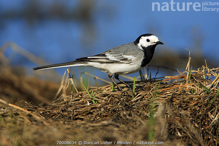 White Wagtail (Motacilla alba) foraging on the shore of a lake, Alentejo, Portugal  ,  Adult, Alentejo, Color Image, Day, Full Length, Horizontal, Motacilla alba, Nobody, One Animal, Outdoors, Photography, Portugal, Side View, Songbird, White Wagtail, Wildlife,White Wagtail,Portugal  ,  Duncan Usher