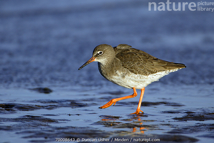 Common Redshank (Tringa totanus) foraging in the mud, Texel, Netherlands  ,  Adult, Color Image, Common Redshank, Day, Foraging, Full Length, Horizontal, Mud, Netherlands, Nobody, One Animal, Outdoors, Photography, Shorebird, Side View, Texel, Tringa totanus, Wildlife,Common Redshank,Netherlands  ,  Duncan Usher