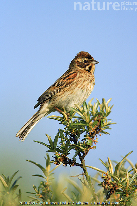 Reed Bunting (Emberiza schoeniclus) female, Texel, Netherlands  ,  Adult, Color Image, Day, Emberiza schoeniclus, Female, Full Length, Netherlands, Nobody, One Animal, Outdoors, Photography, Reed Bunting, Side View, Songbird, Texel, Vertical, Wildlife,Reed Bunting,Netherlands  ,  Duncan Usher