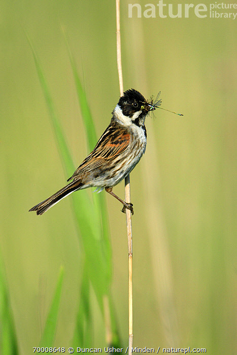 Reed Bunting (Emberiza schoeniclus) male with damselfly prey, Texel, Netherlands  ,  Adult, Color Image, Damselfly, Day, Emberiza schoeniclus, Feeding, Food, Full Length, Male, Netherlands, Nobody, One Animal, Outdoors, Photography, Prey, Reed Bunting, Side View, Songbird, Texel, Vertical, Wildlife,Reed Bunting,Netherlands  ,  Duncan Usher