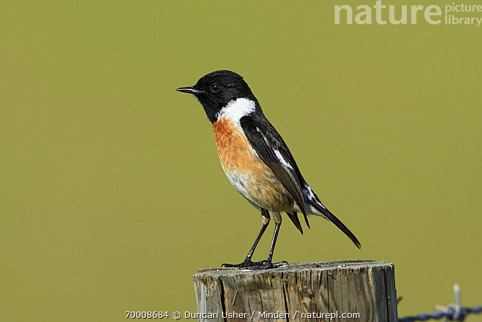 Common Stonechat (Saxicola torquata) male on fence post, Alentejo, Portugal  ,  Adult, Alentejo, Color Image, Common Stonechat, Day, Fence, Full Length, Horizontal, Male, Nobody, One Animal, Outdoors, Photography, Portugal, Saxicola torquata, Side View, Songbird, Wildlife,Common Stonechat,Portugal  ,  Duncan Usher