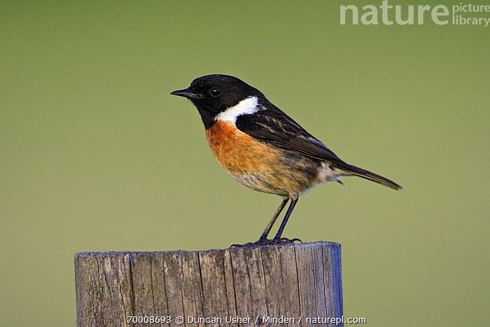 Common Stonechat (Saxicola torquata) male perched on fence post, Alentejo, Portugal  ,  Adult, Alentejo, Color Image, Common Stonechat, Day, Fence, Full Length, Horizontal, Male, Nobody, One Animal, Outdoors, Photography, Portugal, Saxicola torquata, Side View, Songbird, Wildlife,Common Stonechat,Portugal  ,  Duncan Usher