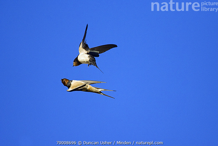 Barn Swallow (Hirundo rustica) feeding a juvenile while flying, Lower Saxony, Germany  ,  Adult, Barn Swallow, Color Image, Day, Feeding, Flying, Full Length, Germany, Hirundo rustica, Horizontal, Lower Saxony, Nobody, Outdoors, Photography, Side View, Songbird, Two Animals, Wildlife,Barn Swallow,Germany  ,  Duncan Usher
