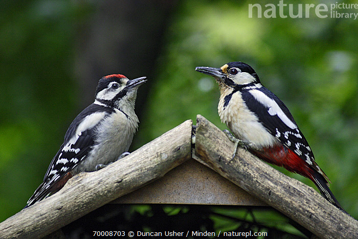 Great Spotted Woodpecker (Dendrocopos major) with juvenile at feeding station, Lower Saxony, Germany  ,  Adult, Bird Feeder, Color Image, Day, Dendrocopos major, Dimorphic, Full Length, Germany, Great Spotted Woodpecker, Horizontal, Juvenile, Lower Saxony, Nobody, Outdoors, Photography, Side View, Two Animals, Wildlife,Great Spotted Woodpecker,Germany  ,  Duncan Usher
