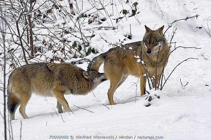 Gray Wolf (Canis lupus) sniffing another pack member, Poland  ,  Adult, Canis lupus, Color Image, Day, Full Length, Gray Wolf, Horizontal, Nobody, Outdoors, Photography, Side View, Smelling, Sniffing, Snow, Social, Two Animals, Wildlife,Gray Wolf,Poland  ,  Winfried Wisniewski