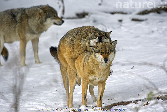 Gray Wolf (Canis lupus) pair mating, Poland  ,  Adult, Canis lupus, Color Image, Day, Female, Front View, Full Length, Gray Wolf, Horizontal, Male, Mating, Nobody, Outdoors, Photography, Two Animals, Wildlife, Winter,Gray Wolf,Poland  ,  Winfried Wisniewski