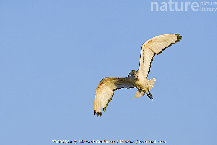 Sacred Ibis (Threskiornis aethiopicus) flying, Gaborone Game Reserve, Gaborone, Botswana  ,  Adult, Color Image, Day, Flying, Front View, Full Length, Gaborone, Gaborone Game Reserve, Horizontal, Nobody, One Animal, Outdoors, Photography, Sacred Ibis, Threskiornis aethiopicus, Wading Bird, Wildlife,Sacred Ibis,Botswana  ,  Vincent Grafhorst
