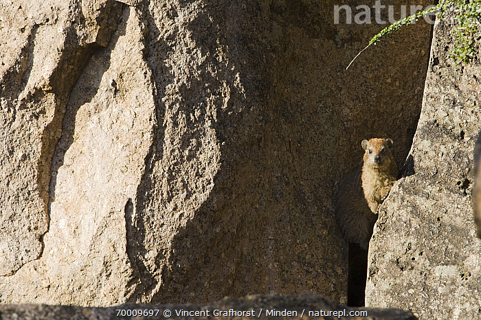 Rock Hyrax (Procavia capensis) wedged between rocks, Gaborone Game Reserve, Gaborone, Botswana  ,  Adult, Animal in Habitat, Color Image, Day, Front View, Gaborone, Gaborone Game Reserve, Horizontal, Looking at Camera, Nobody, One Animal, Outdoors, Photography, Procavia capensis, Rock, Rock Hyrax, Waist Up, Wildlife,Rock Hyrax,Botswana  ,  Vincent Grafhorst