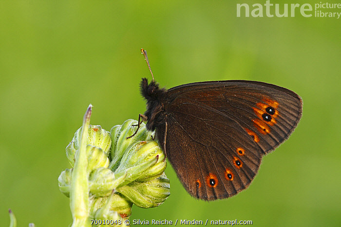 Woodland Ringlet (Erebia medusa) butterfly resting on flower, Eifel, Germany  ,  Adult, Butterfly, Color Image, Day, Eifel, Erebia medusa, Flower, Full Length, Horizontal, Nobody, One Animal, Outdoors, Perched, Photography, Resting, Side View, Wildlife, Woodland Ringlet,Woodland Ringlet,Germany  ,  Silvia Reiche