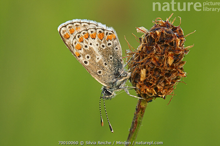 Brown Argus (Aricia agestis) butterfly resting on plantain flowerhead, Eifel, Germany  ,  Adult, Aricia agestis, Brown Argus, Butterfly, Color Image, Day, Eifel, Full Length, Horizontal, Nobody, One Animal, Outdoors, Photography, Plantain, Resting, Side View, Wildlife,Brown Argus,Germany  ,  Silvia Reiche