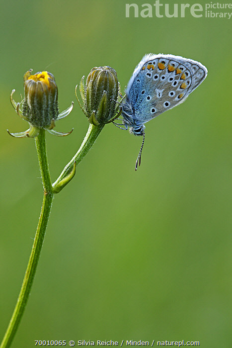 Common Blue (Polyommatus icarus) butterfly resting on flower bud, Eifel, Germany  ,  Adult, Bud, Butterfly, Color Image, Common Blue, Day, Eifel, Flower, Full Length, Nobody, One Animal, Outdoors, Perched, Photography, Polyommatus icarus, Resting, Side View, Vertical, Wildlife,Common Blue,Germany  ,  Silvia Reiche
