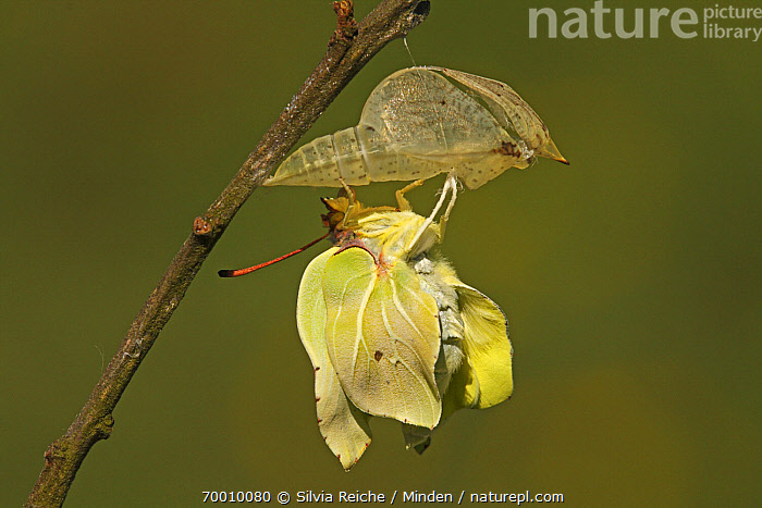 Brimstone (Gonepteryx rhamni) emerging from chrysalis, Eifel, Germany. Sequence 12 of 17  ,  Adult, Brimstone, Butterfly, Chrysalis, Color Image, Day, Drying Wings, Eifel, Emerging, Full Length, Gonepteryx rhamni, Hanging, Horizontal, Metamorphosis, Nobody, One Animal, Outdoors, Photography, Pupa, Sequence, Side View, Twig, Wildlife,Brimstone,Germany  ,  Silvia Reiche