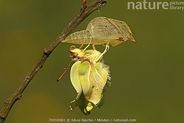 Brimstone (Gonepteryx rhamni) emerging from chrysalis, Eifel, Germany. Sequence 13 of 17  ,  Adult, Brimstone, Butterfly, Chrysalis, Color Image, Day, Drying Wings, Eifel, Emerging, Full Length, Gonepteryx rhamni, Hanging, Horizontal, Metamorphosis, Nobody, One Animal, Outdoors, Photography, Pupa, Sequence, Side View, Twig, Wildlife,Brimstone,Germany  ,  Silvia Reiche
