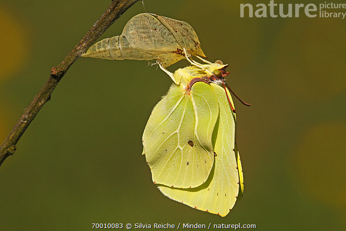 Brimstone (Gonepteryx rhamni) drying its wings after emerging from chrysalis, Eifel, Germany. Sequence 15 of 17  ,  Adult, Brimstone, Butterfly, Chrysalis, Color Image, Day, Drying Wings, Eifel, Full Length, Germany, Gonepteryx rhamni, Horizontal, Metamorphosis, Nobody, One Animal, Outdoors, Photography, Pupa, Sequence, Side View, Transformation, Wildlife,Brimstone,Germany  ,  Silvia Reiche