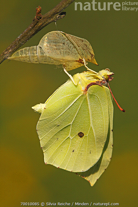Brimstone (Gonepteryx rhamni) drying its wings after emerging from chrysalis, Eifel, Germany. Sequence 17 of 17  ,  Adult, Brimstone, Butterfly, Chrysalis, Clinging, Color Image, Day, Eifel, Full Length, Germany, Gonepteryx rhamni, Metamorphosis, Nobody, One Animal, Outdoors, Photography, Pupa, Sequence, Side View, Transformation, Vertical, Wildlife,Brimstone,Germany  ,  Silvia Reiche
