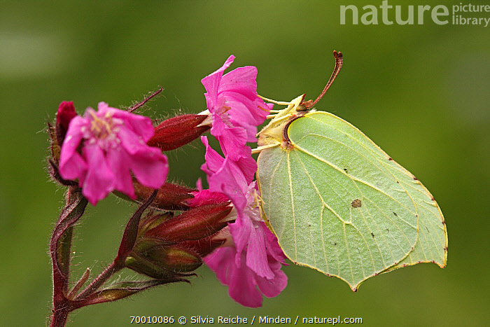 Brimstone (Gonepteryx rhamni) butterfly on Red Campion (Silene dioica), Eifel, Germany  ,  Adult, Brimstone, Butterfly, Color Image, Day, Eifel, Feeding, Flower, Full Length, Germany, Gonepteryx rhamni, Horizontal, Nobody, One Animal, Outdoors, Perched, Photography, Pink, Pollinating, Red Campion, Side View, Silene dioica, Wildlife,Brimstone,Red Campion,Silene dioica,Germany  ,  Silvia Reiche