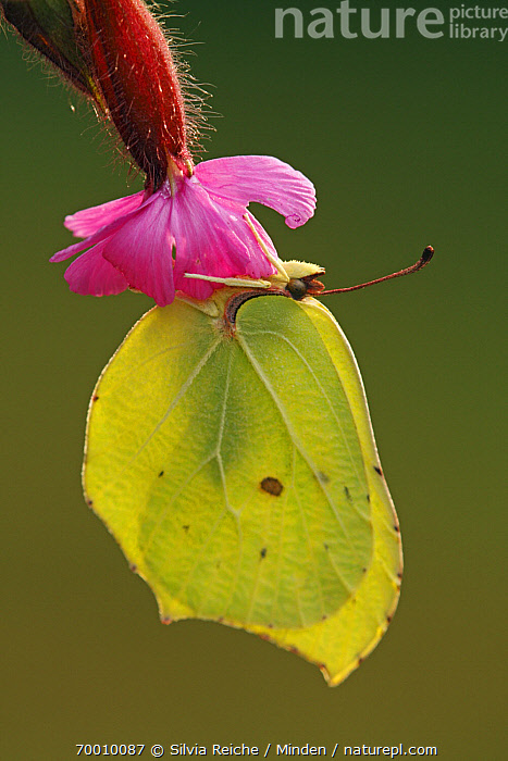 Brimstone (Gonepteryx rhamni) butterfly on Red Campion (Silene dioica), Eifel, Germany  ,  Adult, Brimstone, Butterfly, Color Image, Day, Eifel, Flower, Full Length, Gonepteryx rhamni, Hanging, Nobody, One Animal, Outdoors, Photography, Red Campion, Side View, Silene dioica, Vertical, Wildlife,Brimstone,Red Campion,Silene dioica,Germany  ,  Silvia Reiche