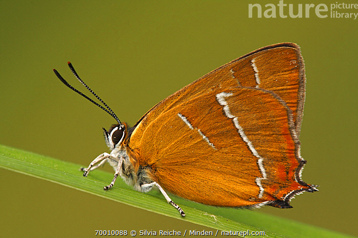 Brown Hairstreak (Thecla betulae) butterfly resting on blade of grass, Netherlands  ,  Adult, Brown Hairstreak, Butterfly, Color Image, Day, Full Length, Horizontal, Netherlands, Nobody, One Animal, Outdoors, Photography, Side View, Thecla betulae, Wildlife,Brown Hairstreak,Netherlands  ,  Silvia Reiche