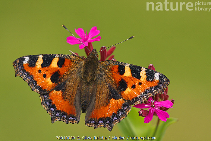 Small Tortoiseshell (Aglais urticae) butterfly on Red Campion (Silene dioica), Hoogeloon, Noord-Brabant, Netherlands  ,  Adult, Aglais urticae, Butterfly, Color Image, Day, Flower, Full Length, Hoogeloon, Horizontal, Netherlands, Nobody, Noord-Brabant, One Animal, Outdoors, Photography, Pink, Small Tortoiseshell, Top View, Wildlife,Small Tortoiseshell,Red Campion,Silene dioica,Netherlands  ,  Silvia Reiche
