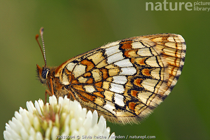Nickerl's Fritillary (Melitaea aurelia) butterfly resting on clover, Eifel, Germany  ,  Adult, Butterfly, Clover, Color Image, Day, Eifel, Flower, Full Length, Germany, Horizontal, Melitaea aurelia, Nickerl's Fritillary, Nobody, One Animal, Outdoors, Perched, Photography, Side View, Wildlife,Nickerl's Fritillary,Germany  ,  Silvia Reiche