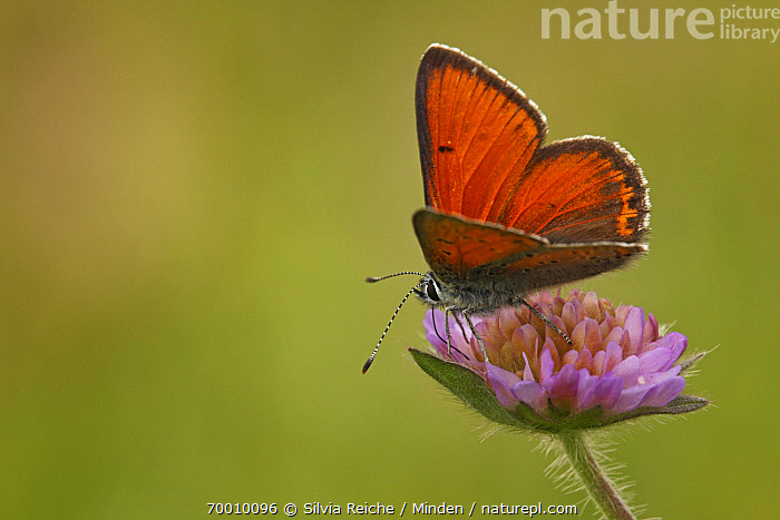 Purple-edged Copper (Lycaena hippothoe) butterfly on Field Scabious (Knautia arvensis), Eifel, Germany  ,  Adult, Butterfly, Color Image, Day, Eifel, Field Scabious, Flower, Full Length, Horizontal, Knautia arvensis, Lycaena hippothoe, Nobody, One Animal, Outdoors, Perched, Photography, Purple-edged Copper, Side View, Wildlife,Purple-edged Copper,Field Scabious,Knautia arvensis,Germany  ,  Silvia Reiche