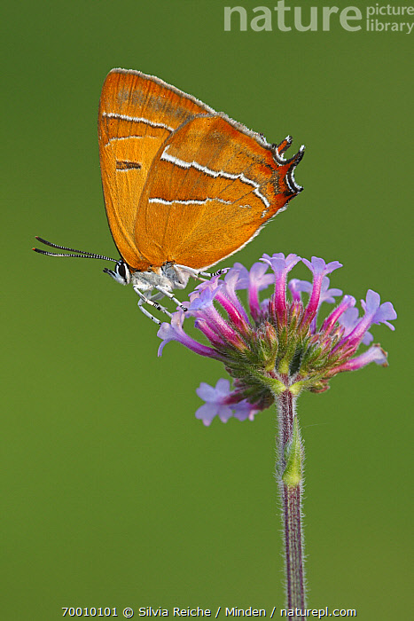 Brown Hairstreak (Thecla betulae) butterfly on flower, Netherlands  ,  Adult, Brown Hairstreak, Butterfly, Color Image, Day, Flower, Full Length, Netherlands, Nobody, One Animal, Outdoors, Photography, Side View, Thecla betulae, Vertical, Wildlife,Brown Hairstreak,Netherlands  ,  Silvia Reiche