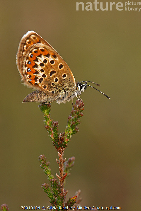 Silver-studded Blue (Plebejus argus) butterfly resting on Heather (Calluna vulgaris), Neterselse Heide, Noord-Brabant, Netherlands  ,  Adult, Butterfly, Calluna vulgaris, Color Image, Day, Full Length, Heather, Neterselse Heide, Nobody, Noord-Brabant, One Animal, Outdoors, Perched, Photography, Plebejus argus, Side View, Silver-studded Blue, Vertical, Wildlife,Silver-studded Blue,Heather,Calluna vulgaris,Netherlands  ,  Silvia Reiche