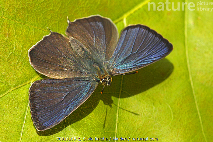 Purple Hairstreak (Neozephyrus quercus) butterfly on leaf, Hoogeloon, Noord-Brabant, Netherlands  ,  Adult, Butterfly, Color Image, Day, Full Length, Hoogeloon, Horizontal, Leaf, Neozephyrus quercus, Nobody, Noord-Brabant, One Animal, Outdoors, Perched, Photography, Purple Hairstreak, Top View, Wildlife,Purple Hairstreak,Netherlands  ,  Silvia Reiche