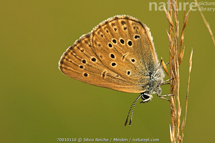 Alcon Blue (Maculinea alcon) butterfly resting on grass, Neterselse Heide, Noord-Brabant, Netherlands  ,  Adult, Alcon Blue, Butterfly, Clinging, Color Image, Day, Full Length, Grass, Horizontal, Maculinea alcon, Neterselse Heide, Nobody, One Animal, Outdoors, Perched, Photography, Resting, Side View, Wildlife,Alcon Blue,Netherlands  ,  Silvia Reiche
